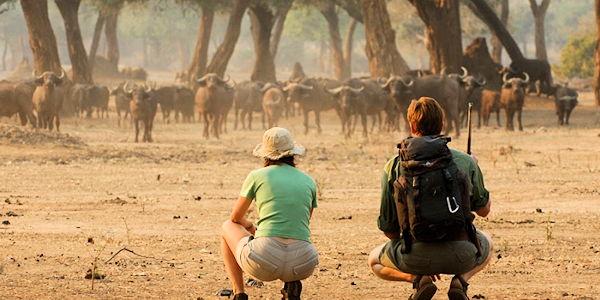 observation d'un troupeau de buffles en safari a pied dans le parc de mana pools