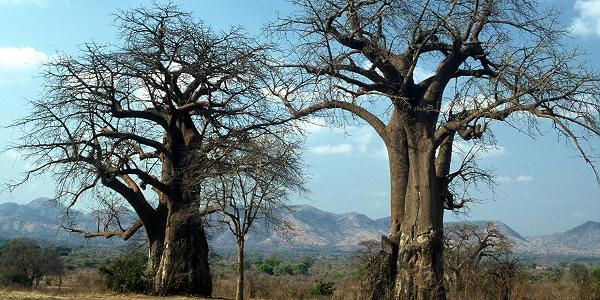 baobabs a mana pools