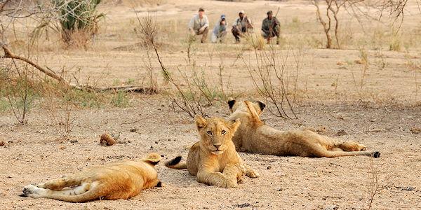 Observation de lions en safari a pied