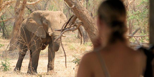 elephant dans le camp