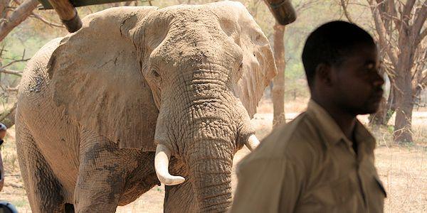 elephant dans le camp dans le lower zambezi