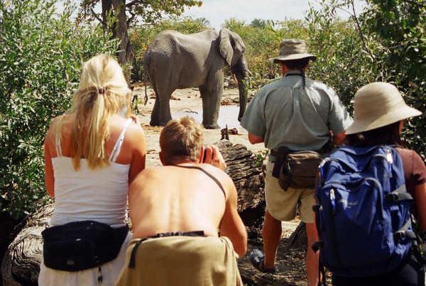 observation d'un elephant en safari a pied dans le parc de hwange