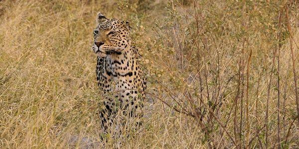 observation d'un  leopard