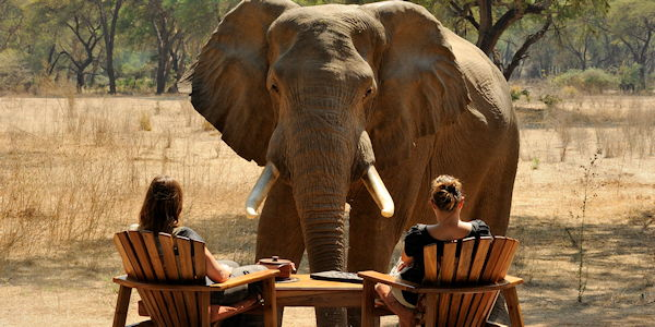 elephant tres pres de la table dans un camp dans le lower zambezi