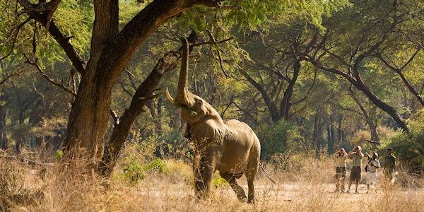 observation a pied d'un elephant dans le parc du lower zambezi