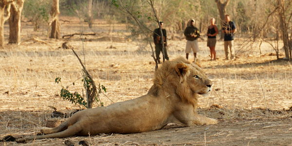 Observation d'un lion male en safari a pied