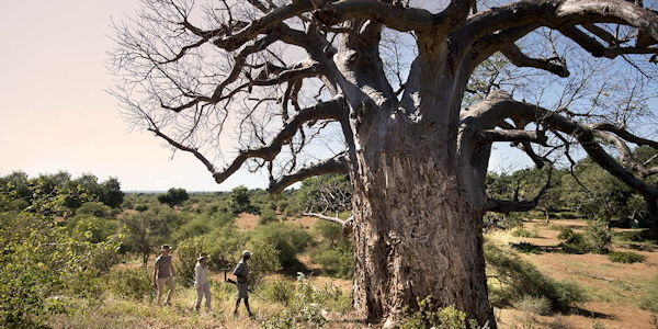 safari a pied au nord du parc kruger en passant a cote d'enormes baobabs