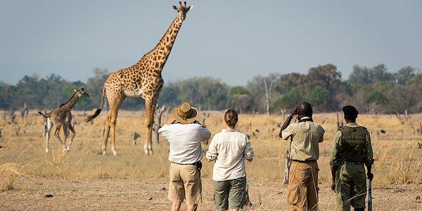 observation de girafes en safari a pied dans le le parc du luangwa