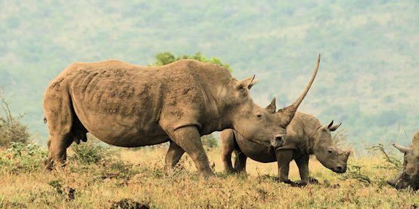 rhinoceros blanc dans la reserve d'Imfolozi en afrique du sud