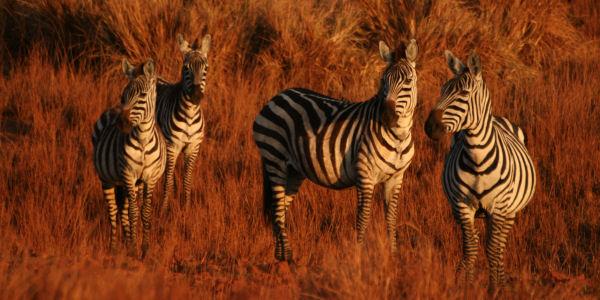 troupeau de zebres