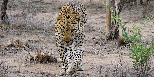 leopard - safari au Botswana