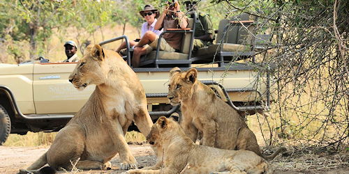 observation de lions en safari 4x4